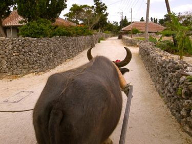 【うち旅】第1回 竹富島で水牛探し